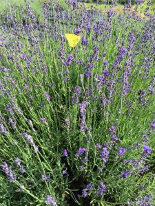 Hidcote Lavender bush with butterfly