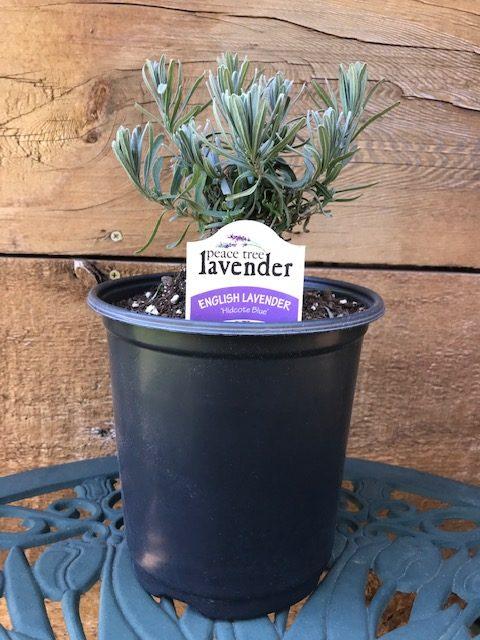 hidcote blue lavender plant
