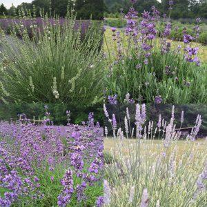 Lavender in four varieties
