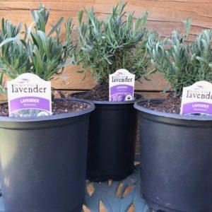 Mad Lavender Farm Lavender Plants