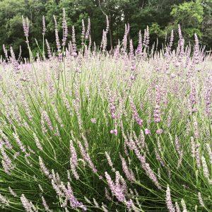 Phenomenal Lavender in full bloom