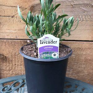 Provence Lavender Plant