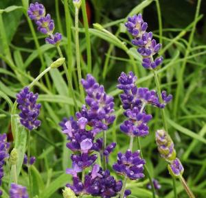 Super Blue Lavender close up