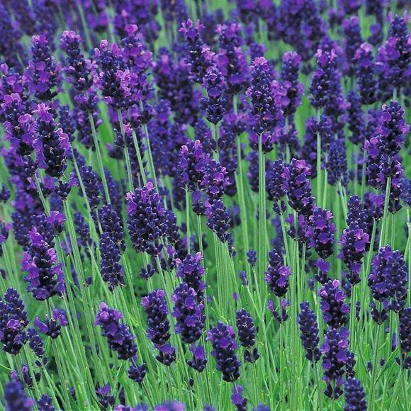 Super Blue Lavender in bloom