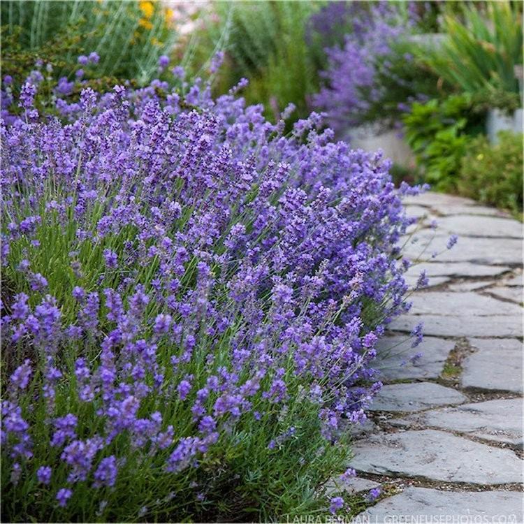 munstead lavender plant in bloom