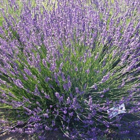 Phenomenal lavender in bloom