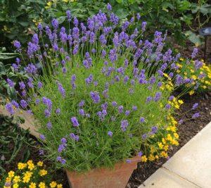 terracotta pot of lavender