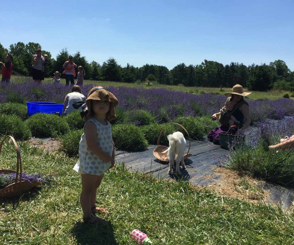 Families Picking Lavender