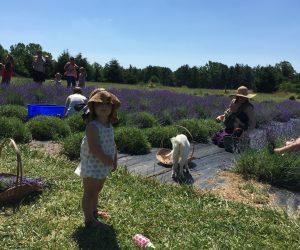 Families Picking Lavender