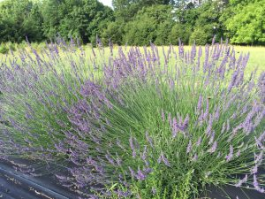 Phenomenal Lavender bush