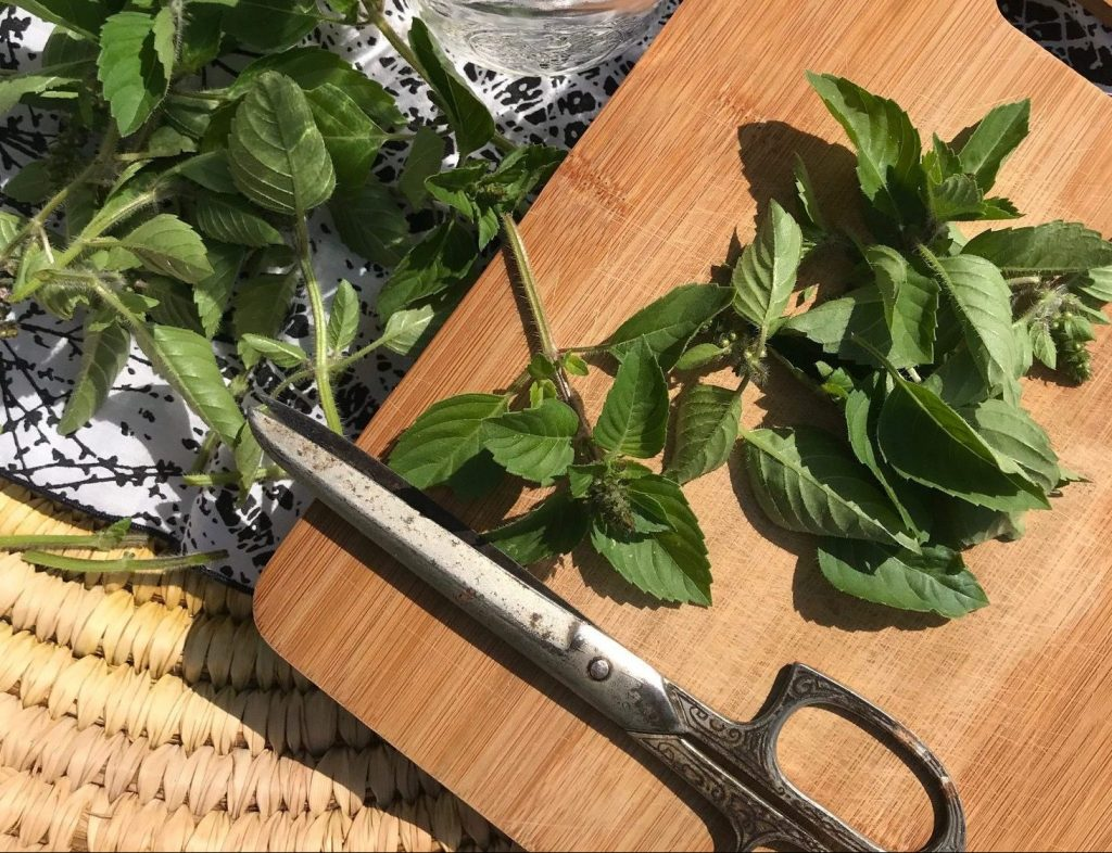 Tulsi Basil harvested with scissors