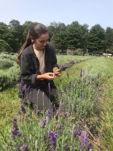 picking lavender in second bloom