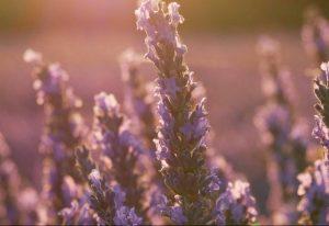 summer solstice lavender yoga