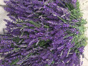 Lavender Second Bloom