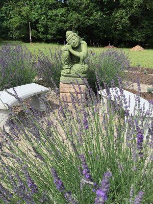Phenomenal Lavender bush in full bloom