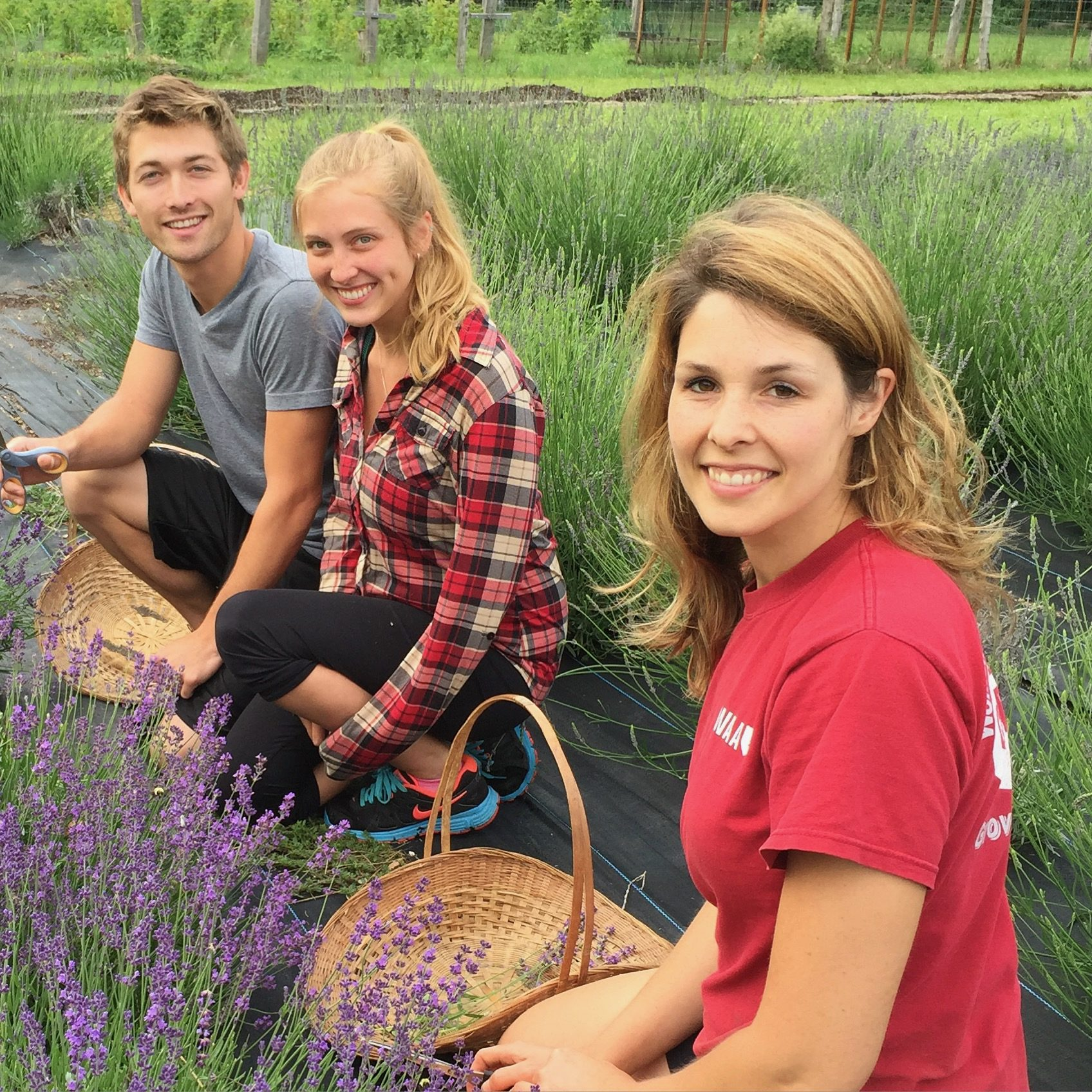 group picking lavender
