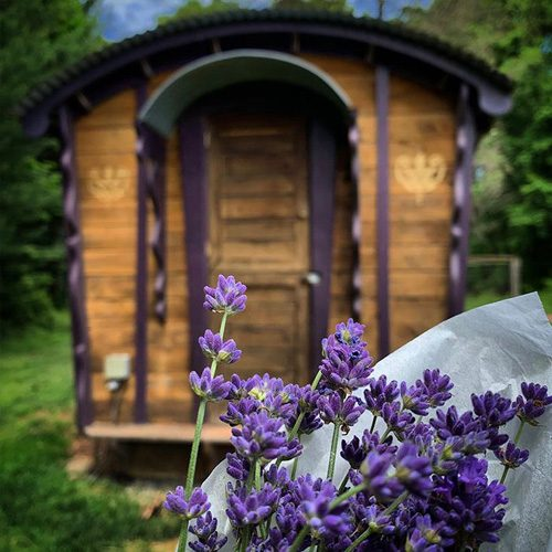 chicken-coop-and-lavender
