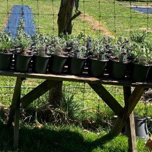lavender-plants-for-sale